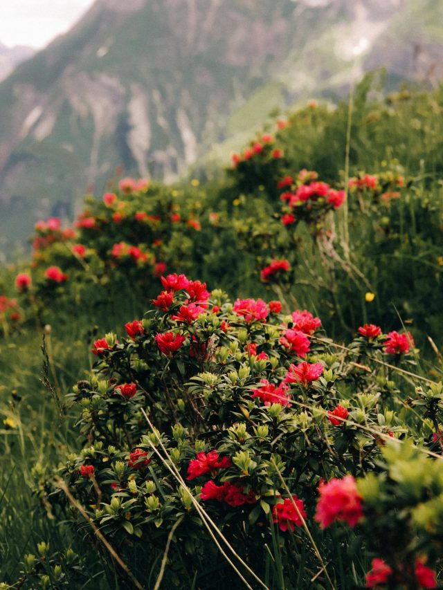Mountains flowers