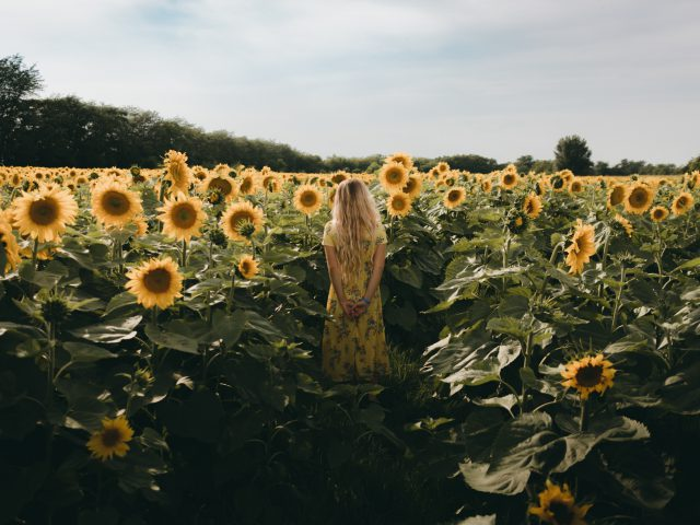 In the sunflowers field