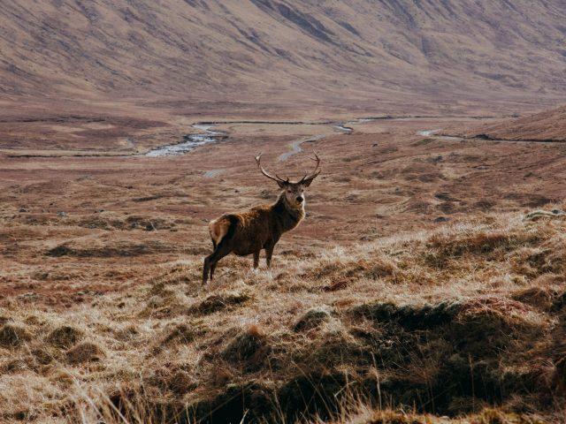 Scottish Stag