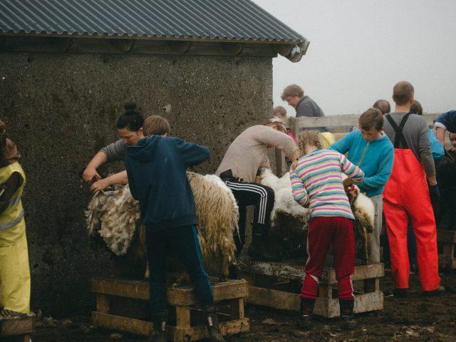 Sheeps shearing
