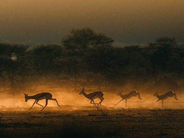 Springboks in the sunrise