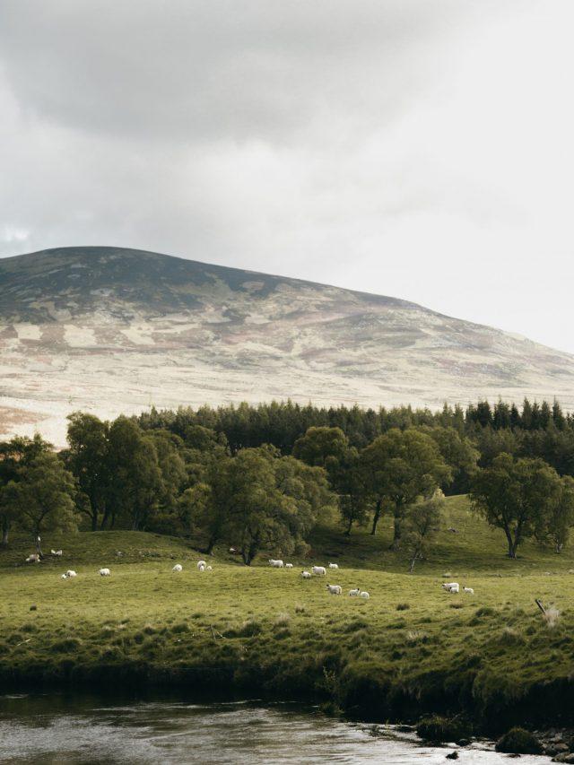 Sheeps in a field